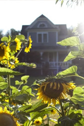 Clackamas River Farm house with sunflowers in front
